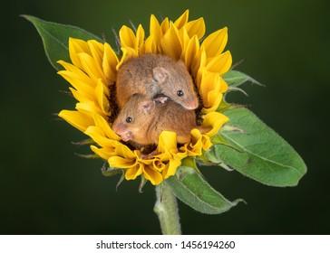 Harvest Mice cuteness Mouse Sweet Flower