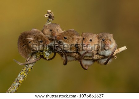 harvest mice micromys minutus playing on stock photo edit now 1076861627 shutterstock. Black Bedroom Furniture Sets. Home Design Ideas