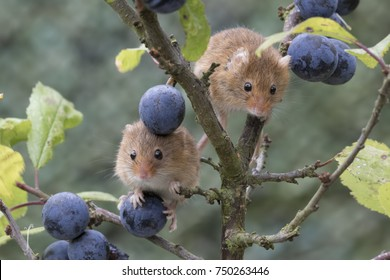 harvest mice, mouse portrait on thistle, corn,sloe,branble,stems with blurred background