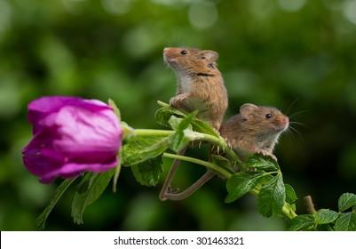 Harvest mice on Wild rose