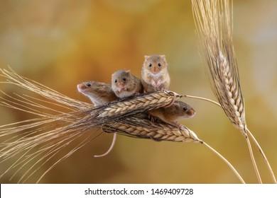 Harvest mice posed on vegetation.