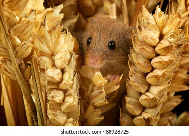 Harvest mouse in amongst corn