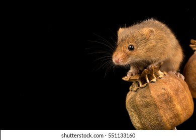 Harvest mouse balanced on a seed pod with black background.