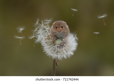 A harvest mouse balances precariously on a dandelion clock with the seeds blowing in the wind