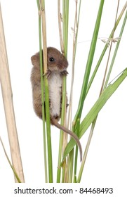Harvest Mouse climbing on blade of grass in front of white background