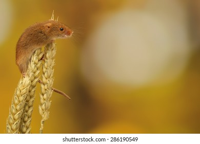 Harvest mouse climbing on wheat isolated against an autumn background