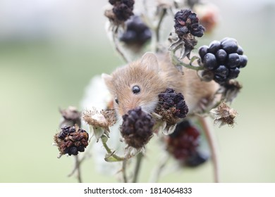 harvest mouse climbing through blackberry brambles