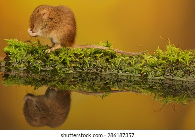 Harvest mouse having a quick clean next to a pond