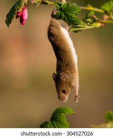 Harvest mouse, just hanging around