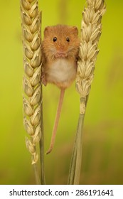 Harvest mouse looking straight at the camera