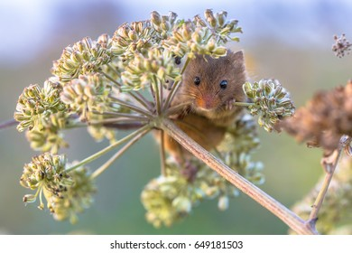 Harvest mouse (Micromys minutus) feeding on seeds of cow parsley (Anthriscus sylvestris) and looking in the camera