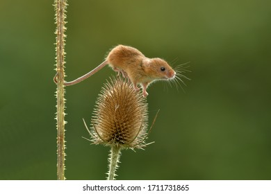 harvest mouse Micromys minutus in the garden