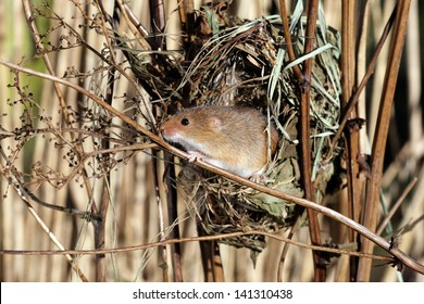 Harvest mouse, Micromys minutus, single mouse at a nest in reeds, captive, january 2010