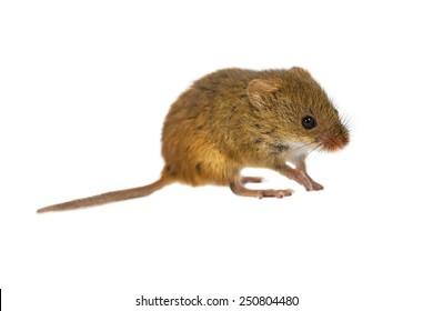 Harvest Mouse, Micromys minutus, walking on white background, studio shot