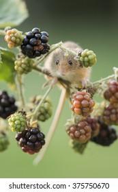 Harvest Mouse (Micromys minutus),portrait format,feeding on blackberries ,Autumn in Oxfordshire