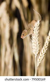 Harvest Mouse in Natural Habitat