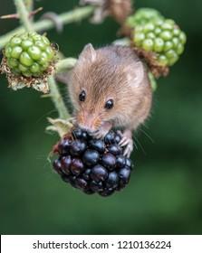 Harvest Mouse on blackberry