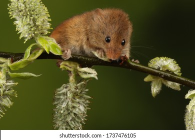 harvest mouse on bracken and twigs