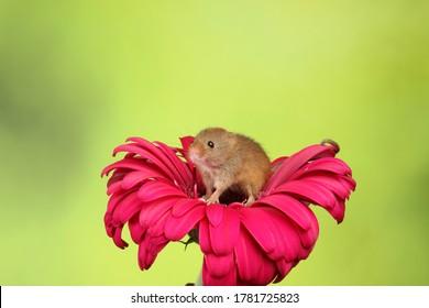 Harvest mouse on red petal flower