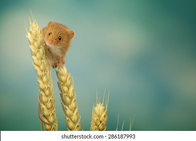 Harvest mouse on some wheat looking at the camera