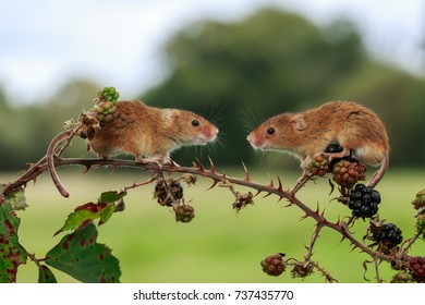 A Harvest mouse on a wild berry hedge
