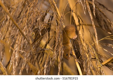 harvest mouse in reeds