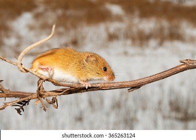 Harvest mouse is running along the twig
