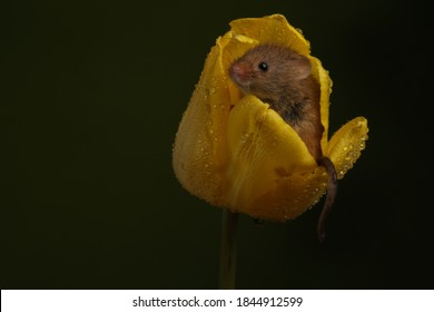 harvest mouse sat inside a yellow tulip with raindrops