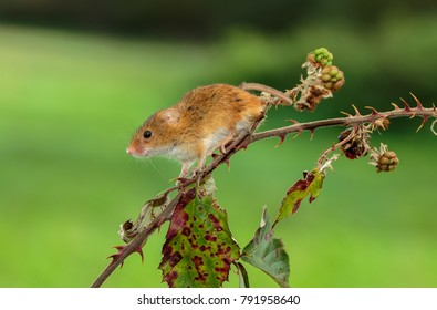 The harvest mouse is a small rodent native to Europe and Asia. It is typically found in fields of cereal crops, such as wheat and oats, in reed beds and in other tall ground vegetation.