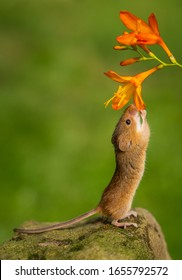 Harvest mouse smelling the flowers