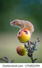 Harvest Maus . Young Harvest Mouse Klettern auf Frucht des Krabbenapfelbaums,