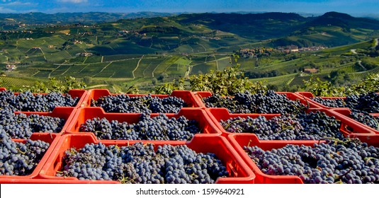 Harvest of the nebbiolo grape, with the background of the hills, covered with the famous vine producing the precious barolo wine