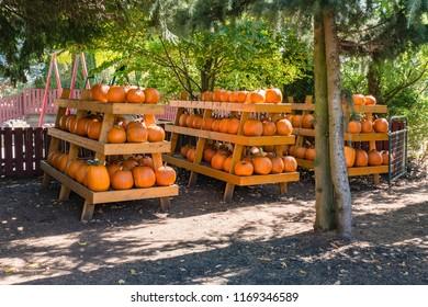 Harvest of orange pumpkins stored on pyramid wooden shelves