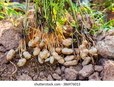 Harvest of Peanut Plants.
