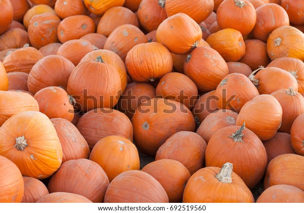 Harvest of pumpkins straight from the field