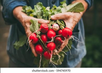 Harvest of radishes on hands of farmer