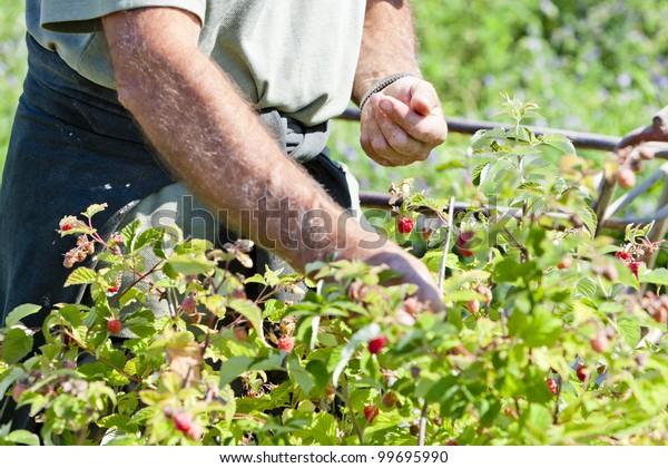 harvest of raspberries