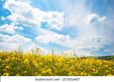 Harvest ready canola field under blue cloudy sky sunny day