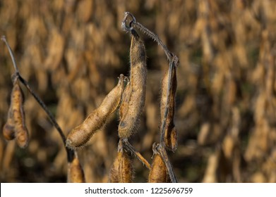 Harvest ready field of soybeans in the morning sun. Glycine max commonly known as soybean in North America or soya bean is a species of legume grown for its edible bean.