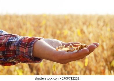 Récolte de gousses de soja prêtes à l'emploi dans des mains de fermier sur fond de champ, heure du coucher du soleil