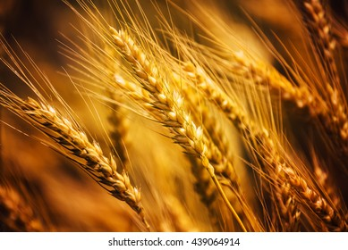 Harvest ready triticale ears close up, hybrid of wheat and rye growing in cultivated field