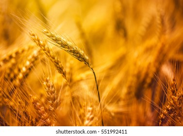 Harvest ready triticale in field, hybrid of wheat and rye