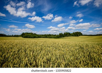 harvest ready wheat fields in late summer under blue sky with white clouds in. countryside