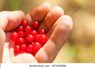 Harvest of red currant. Collecting fruit in the orchard. A natural source of vitamins,