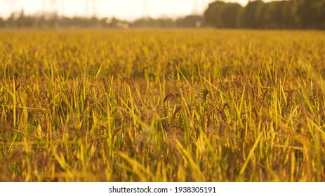 The harvest rice field view full of the yellow ripe rice in the farm field