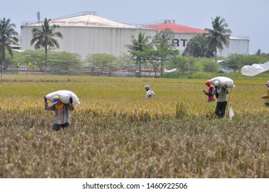 farmers harvest rice in paddy fields adjacent to the PT. Pertamina Oil Refinery located in Kalpagada Village, Maos District, Cilacap Regency, Central Java (Friday, March 6, 2015).