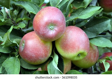 Harvest ripe apples from the fruit cultivable area of South Tyrol near Bolzano in Italy.