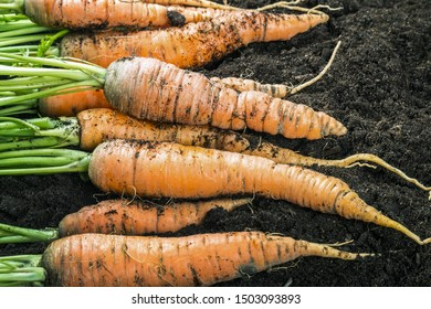 harvest ripe carrots lying in the ground in the garden