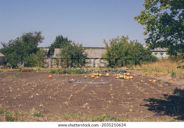 harvest-ripe-pumpkins-after-harvesting-6