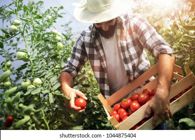 Harvest ripening of tomatoes in a greenhouse